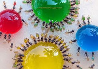 semut warna the ants colour amirbulat