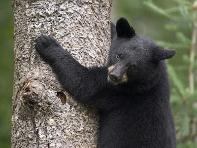 Foto de oso treopando un árbol