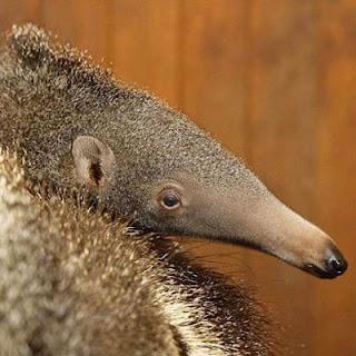 Funny Giant Anteater