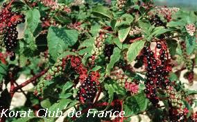 Phytolaque ou raisin d'Amérique