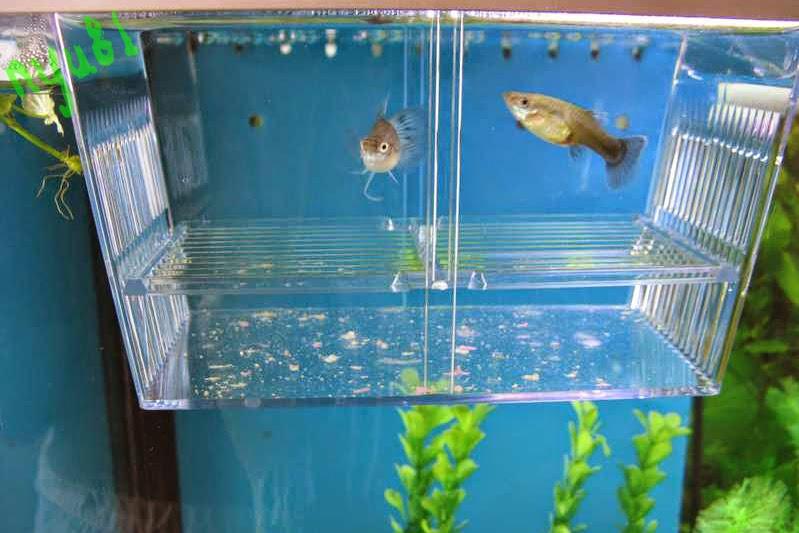 Ore sama guppy for Sala parto pesci