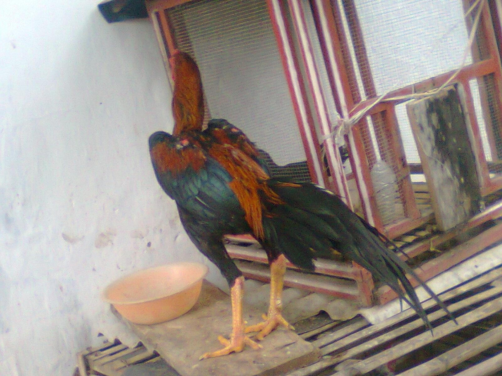 ayam aduan aduan mania bebotoh ayam ini ada kiriman jual ayam