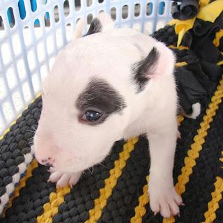 ลูกสุนัข ฟาร์ม ซื้อ ขาย Bull Terrier