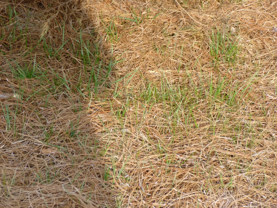 Best way to plant grass seed - Nope In This Case You Re Looking At Grass That Has Easily Invaded The Pine Straw Bed That My Landscaper Put Down Just