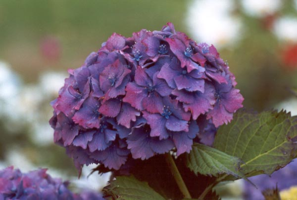 Hue dye hydrangeas in bloom september club colourway Flowers that bloom in september