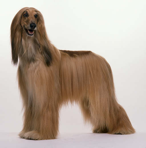 Dog Wallpapers Album: Afghan Hound Dog Breed Picture