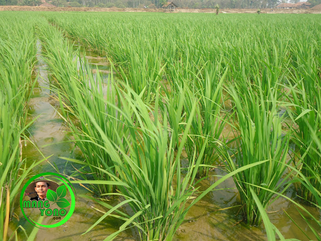 FOTO : Tanaman padi setelah seminggu dilakukan penyemprotan INSEKTISIDA
