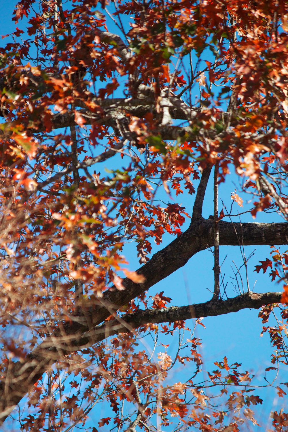 fall leaves with blue skies - photo copyright Allison Beth Cooling