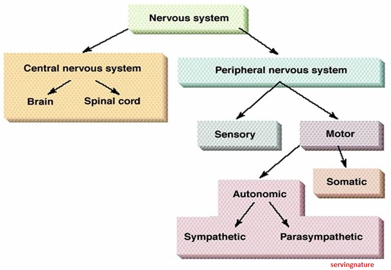 Healthy body healthy mind ans pharmacology autonomic nervous system ccuart Choice Image