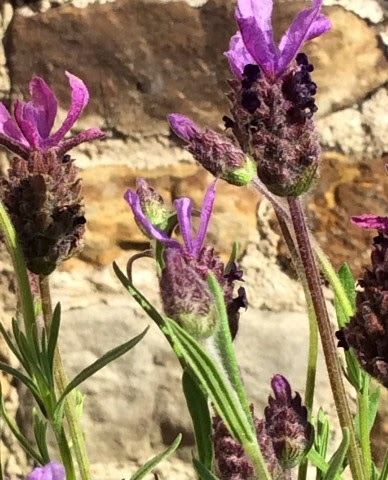 French Lavender 2ltr