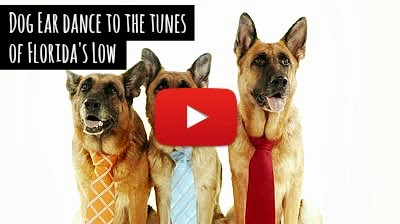 Watch how this cute German Shepherd Dog named Jaxson ear dances to the tunes of Flo Rida's popular hip hop music hit