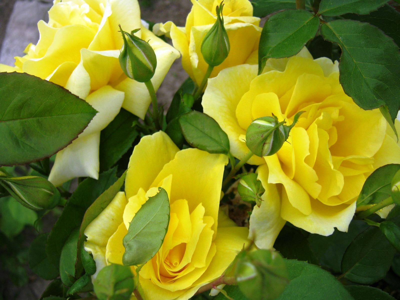 jardim rosas amarelas : jardim rosas amarelas:AS MINHAS LINDAS ROSAS AMARELAS QUE ESTÃO NO MÁXIMO AGORA EM PLENO