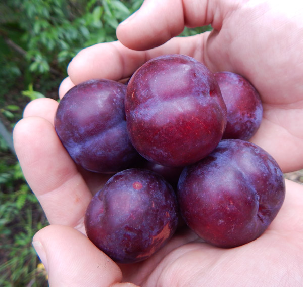 Big sweet cultivated plums harvested off a chickasaw plum graft the survival gardener - Graft plum tree tips ...
