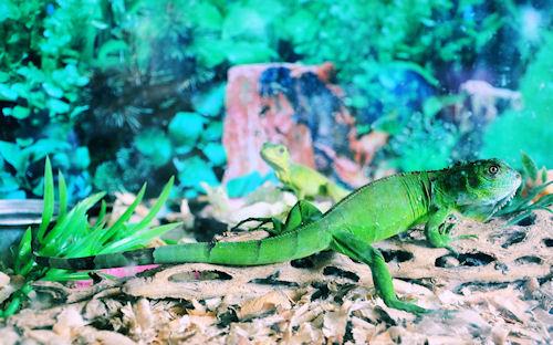La iguana y el gecko by José Luis Ávila Herrera