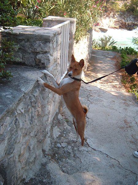 dogs: Basenji dog