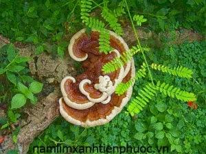 nấm lim xanh tự nhiên