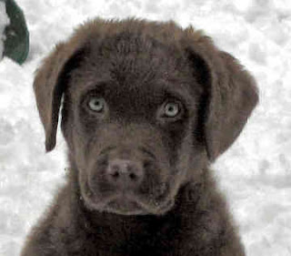 Chesapeake Bay Retriever Puppy Picture