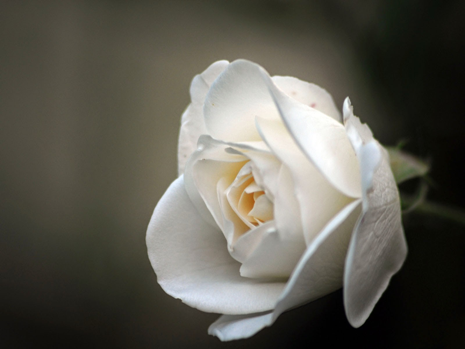 white rose backgrounds wallpapers - photo #16
