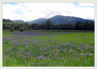 Bild: Wieseniris (Iris sibirica) im Ennstal