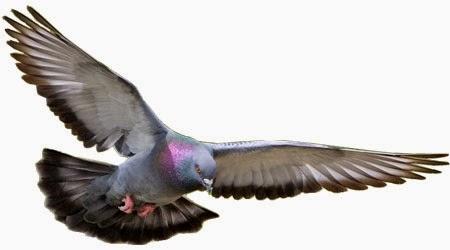 Foto Burung Merpati Terbaik