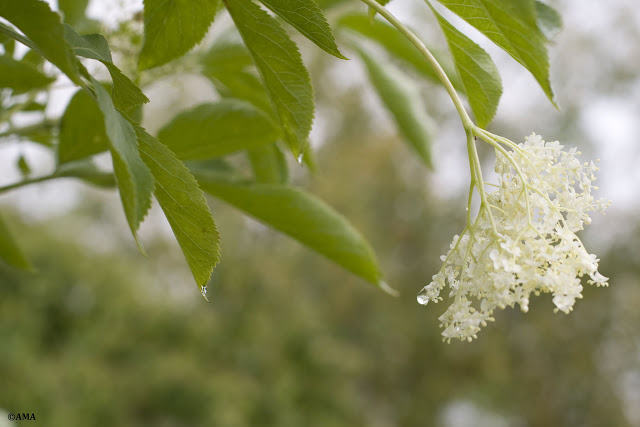 Flori de soc (sambucus)