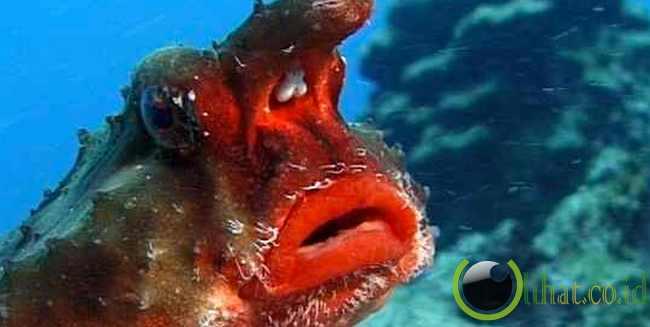 Ikan Kelelawar Hidung Merah