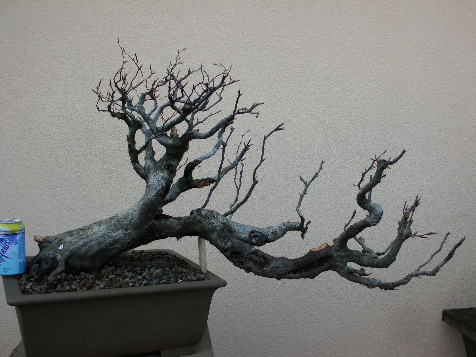 Pepeyote en bonsai haya xl - Bonsai de haya ...