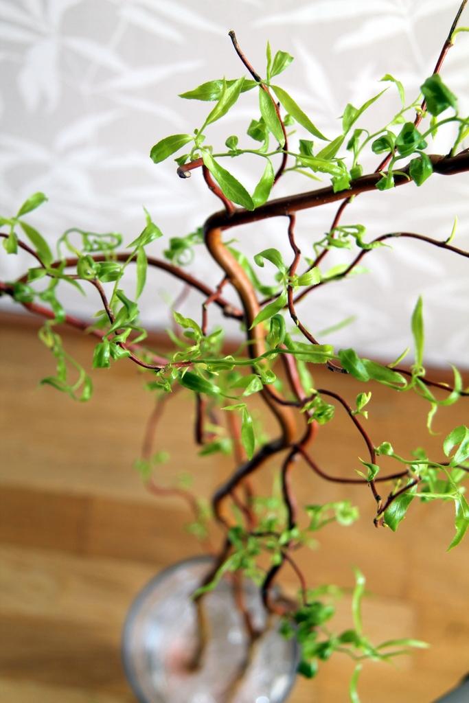 paju, noitapaju olohuoneessa, puu sisällä, kevätoksa