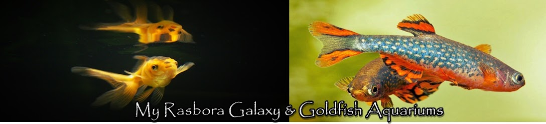 Rasbora Galaxy and Goldfish Aquariums