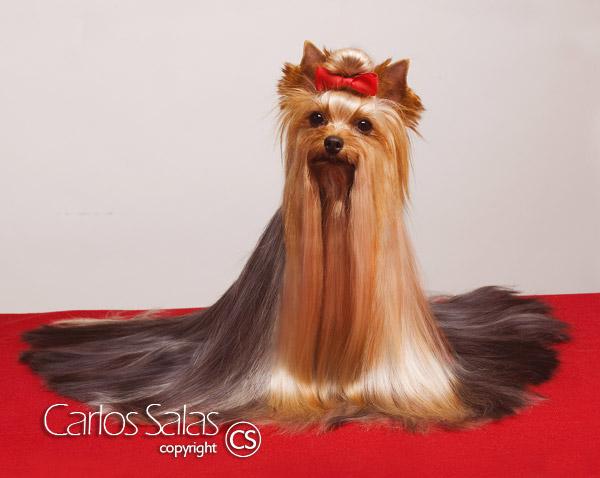 Peinados para perros yorkshire machos - Como quitar los pelos de perro de la ropa ...