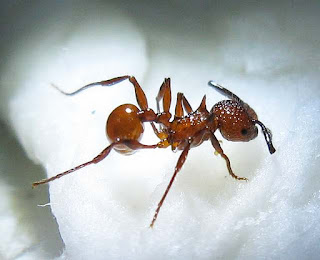 Pristomyrmex trachylissus worker