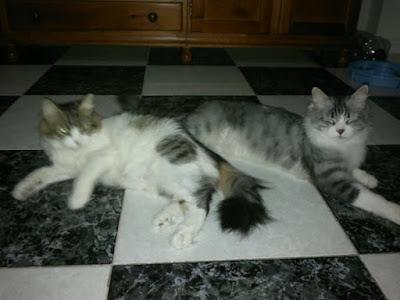 gestacion alumbramiento gato: