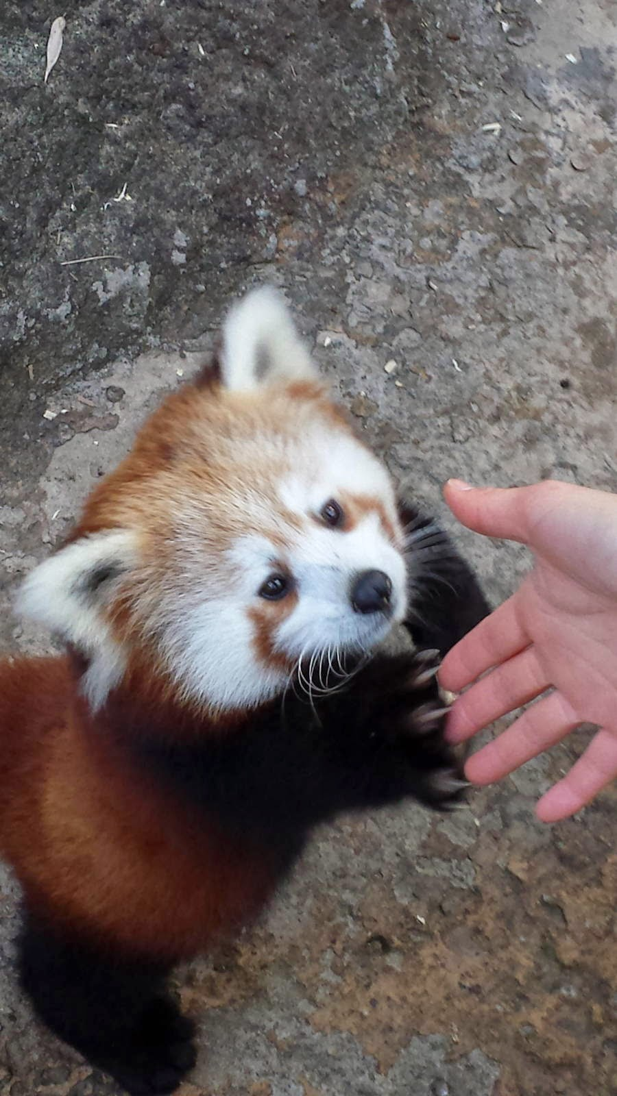 40 Adorable red panda pictures (40 pics), red panda shakes hand a human