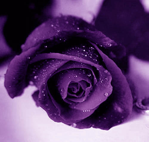 The purple rose!