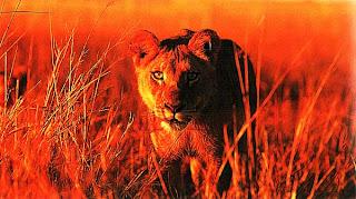 Львица, крадущаяся к добыче, Ботсвана