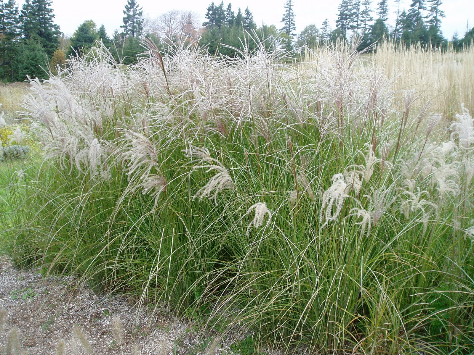 lovegrass farm miscanthus sinensis 39 sarabande 39 ornamental grass at lovegrass farm in p e i. Black Bedroom Furniture Sets. Home Design Ideas