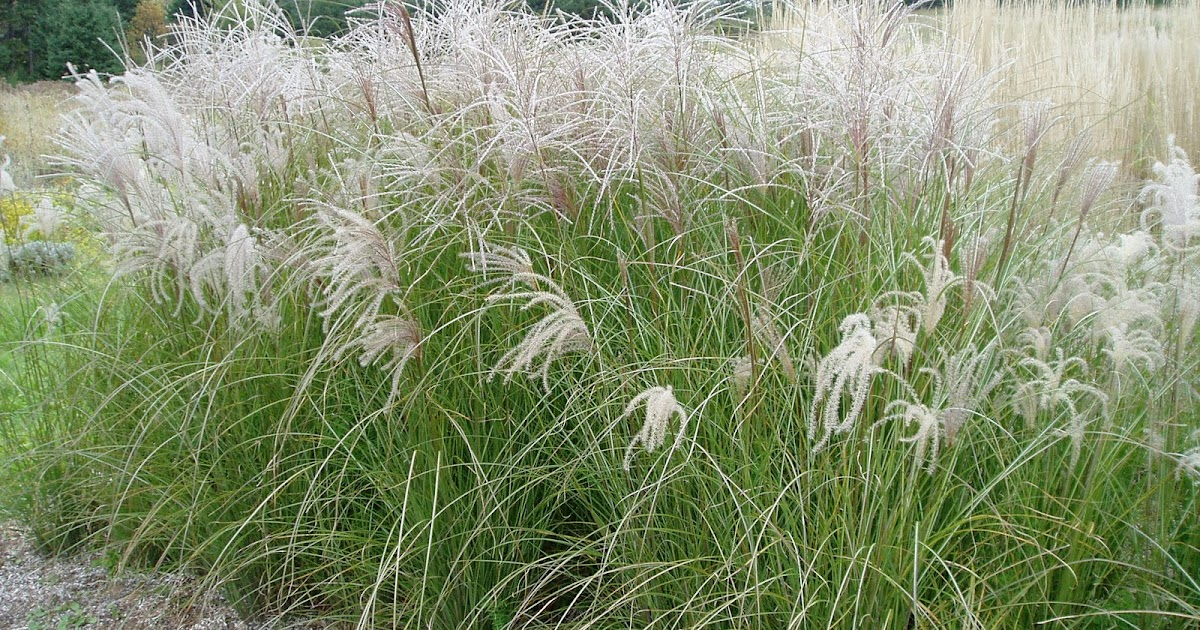 Lovegrass farm miscanthus sinensis 39 sarabande 39 ornamental for Fast growing ornamental grass