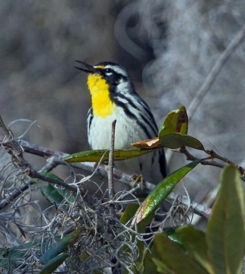 Gnatcatcher yellow