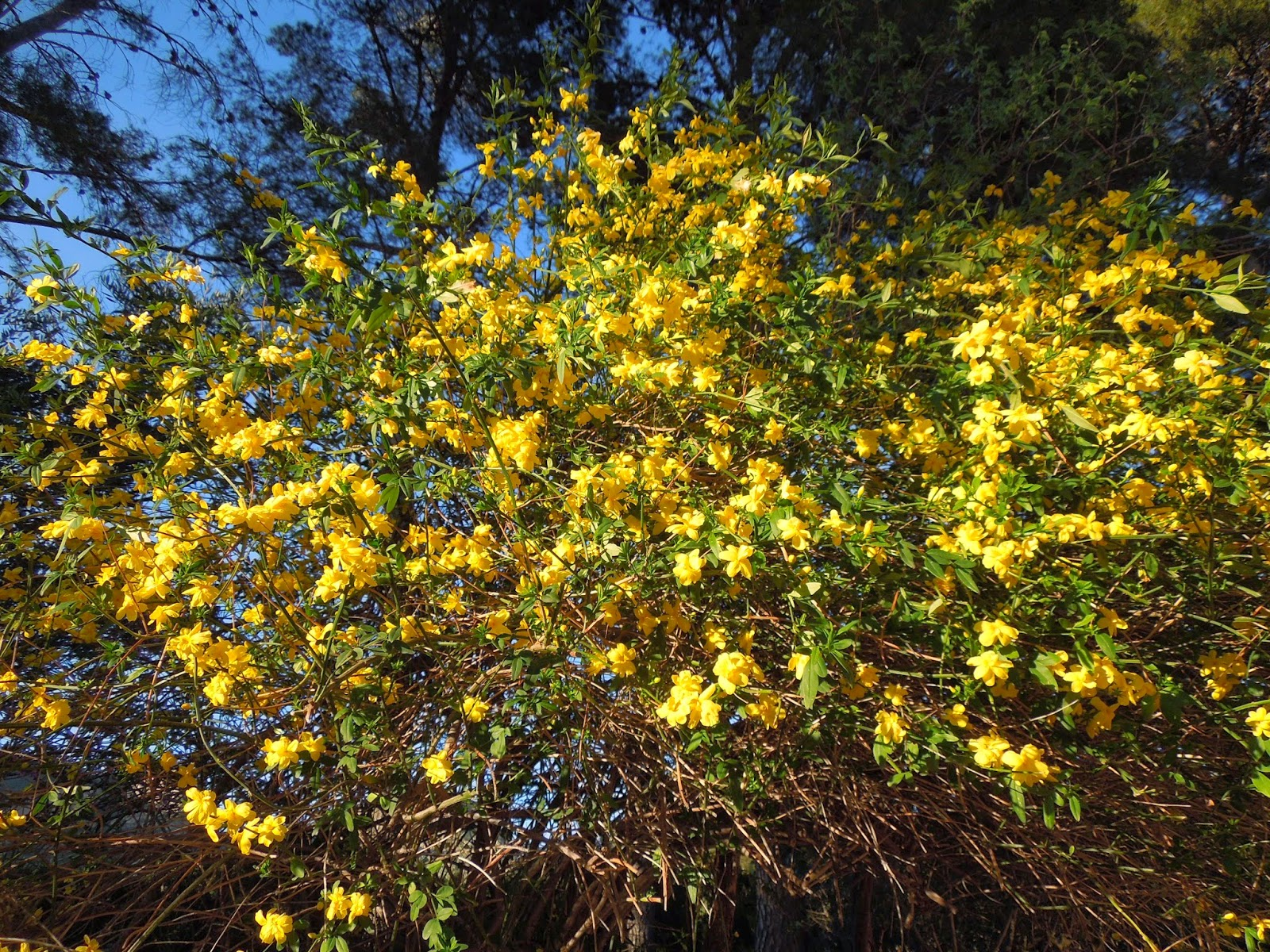 Marzo 2014 bot nic serrat - Arbusto pequeno con flores ...