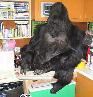 gorilla at computer