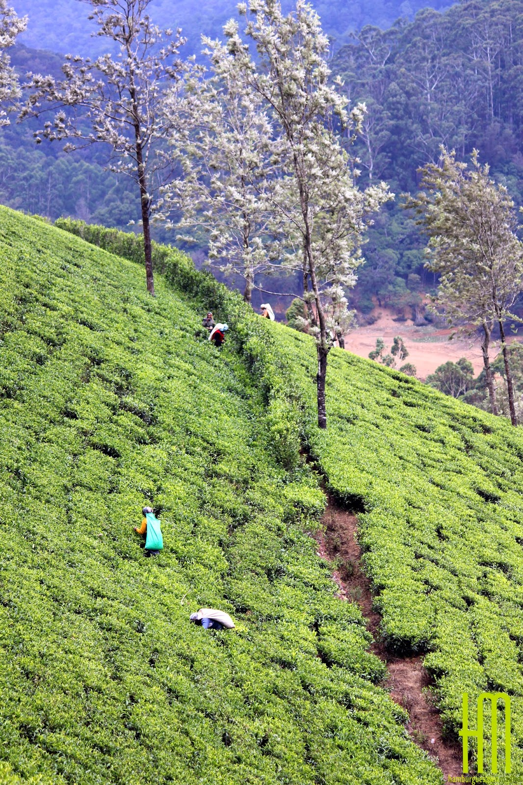 Campos de té en Sri Lanka