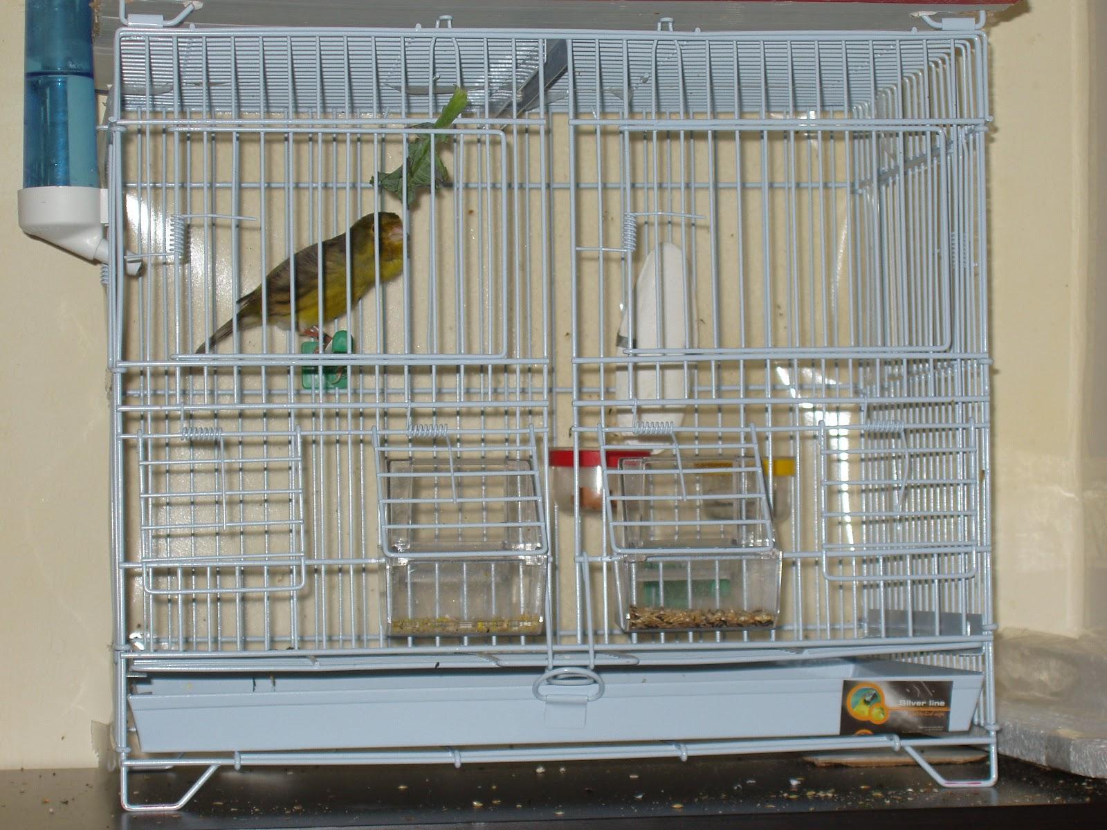 Αρσενικό timbrado τραγουδά