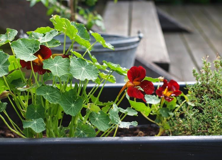Sorte blomster i haven er aldrig sorte