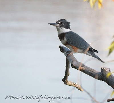 Female belted kingfisher, Toronto photographer Robert Rafton