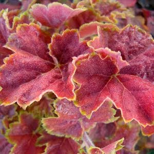 HEUCHERA MIRACLE.