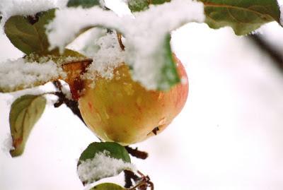Яблоня припорошенная первым снегом