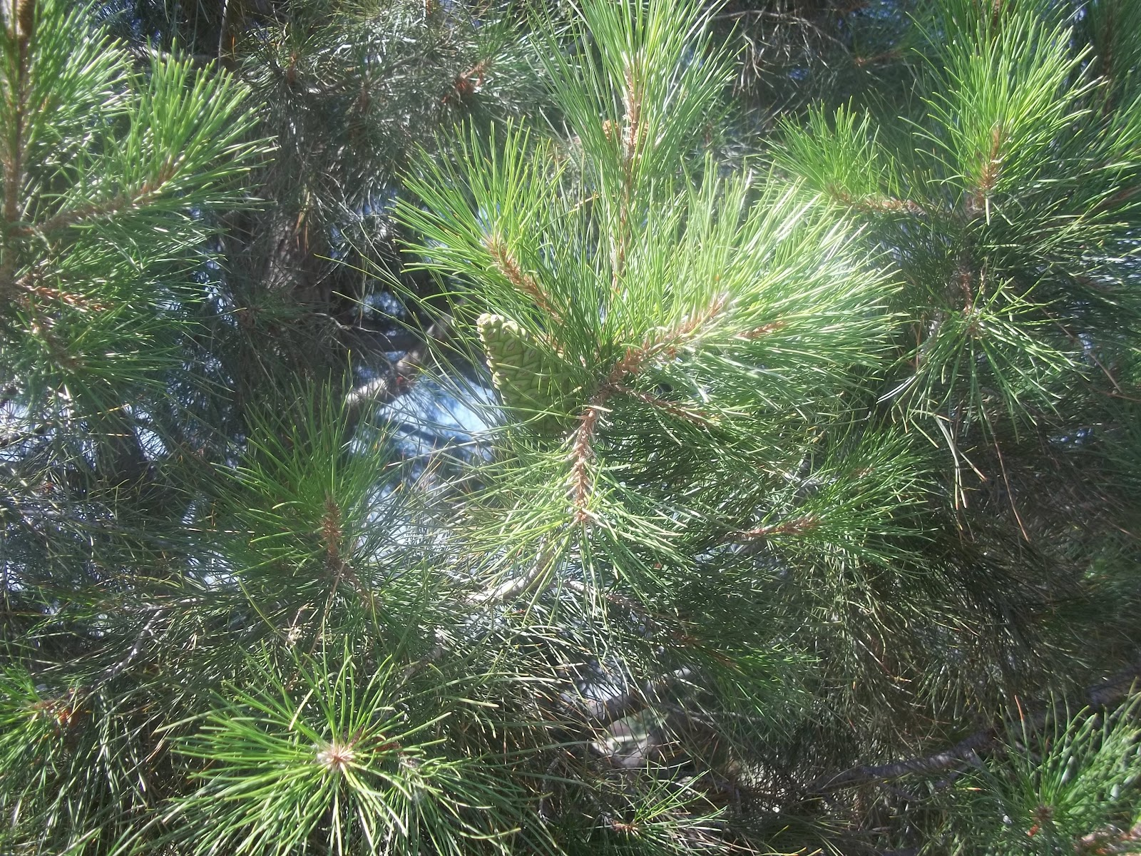 Nature study evergreen and deciduous trees piwi kids for The evergreen