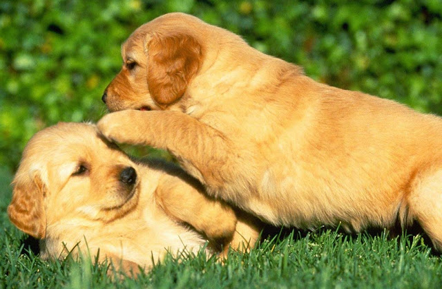 Two Puppies Playing, Puppies, Golden Retrievers puppies
