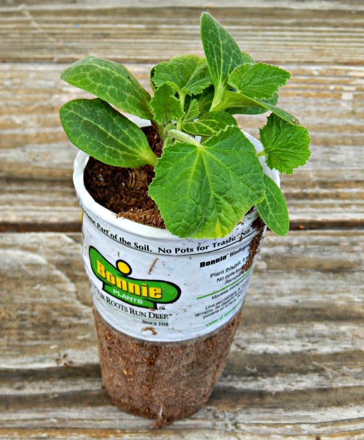 I Cannot Stand Waiting For Seeds To Sprout. I Am A Very Impatient Gardener.  I Usually Buy Young Plants From Loweu0027s Then Plant Them In Containers .