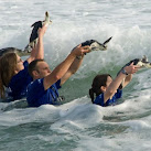 Researchers Solve Young Sea Turtles'